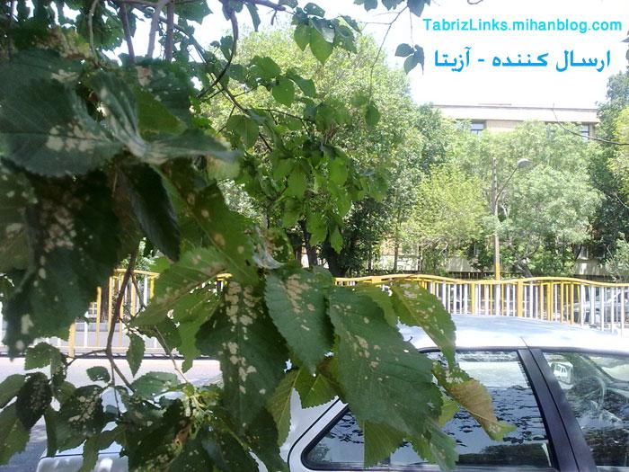 آفت زدگی درختان تبریز