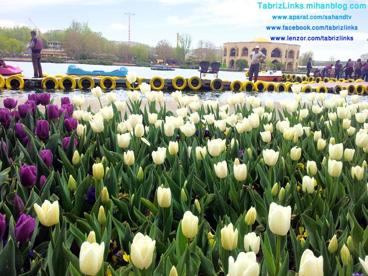 کاشت لاله در تبریز