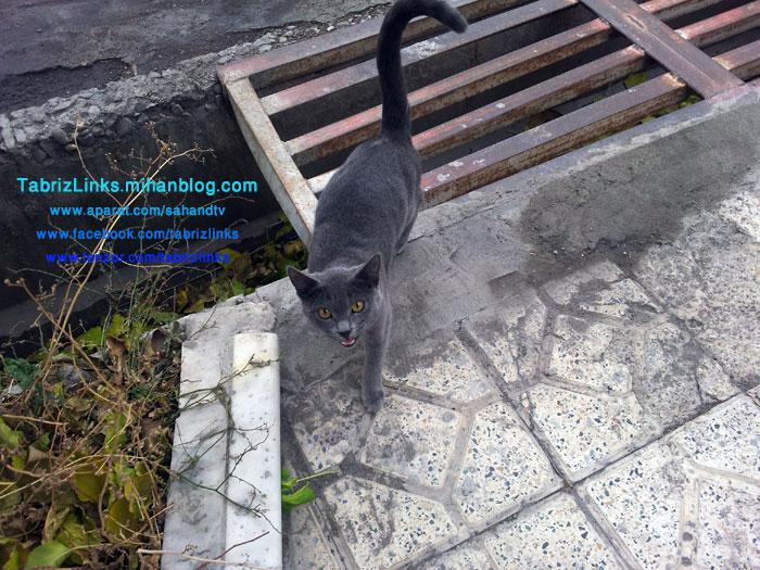 گربه اصیل