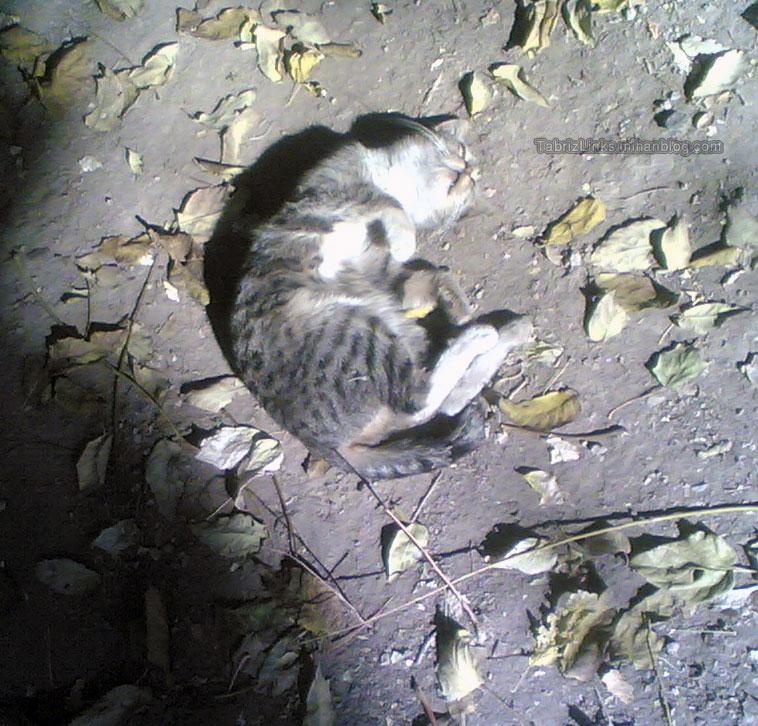 گربه بازار